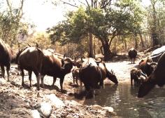 Gaur(Kawal)